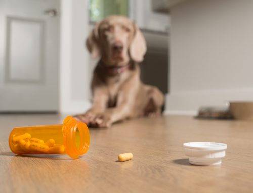 Keep Your Pet Safe from the Top 10 Toxins