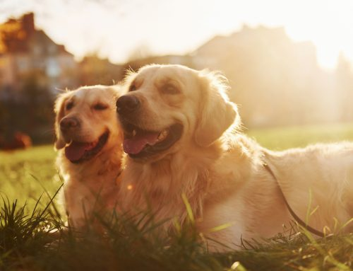 Heat Safety for Pets When It's So Hot That …